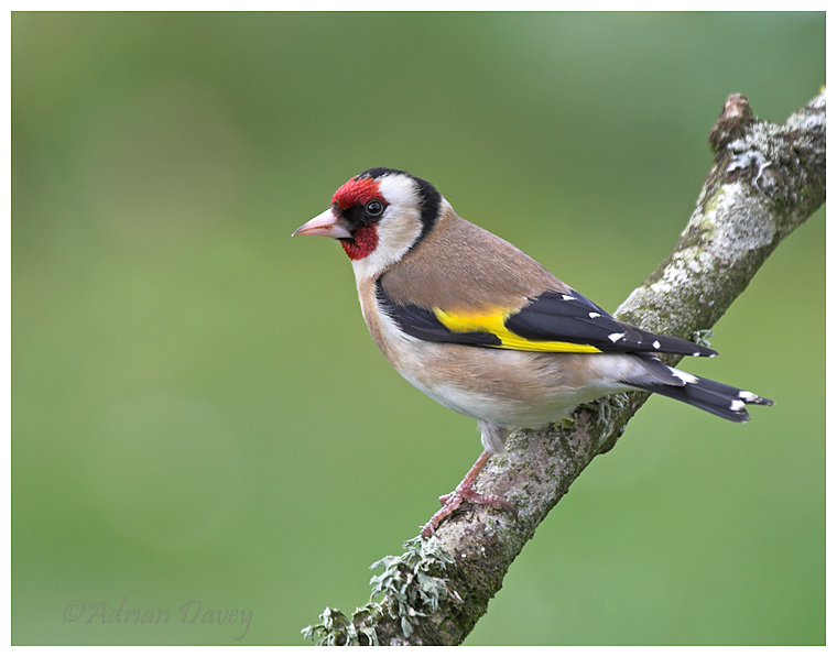 Goldfinch 3