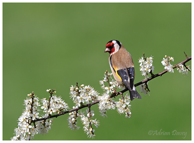 Goldfinch on Blossom