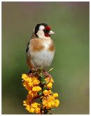 Goldfinch on Berberis