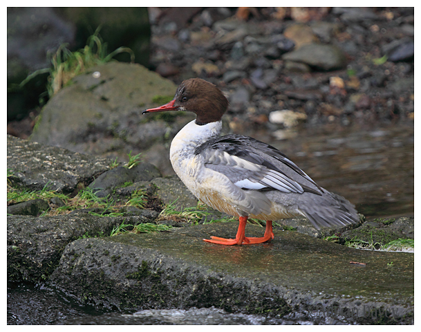 Goosander first winter male .