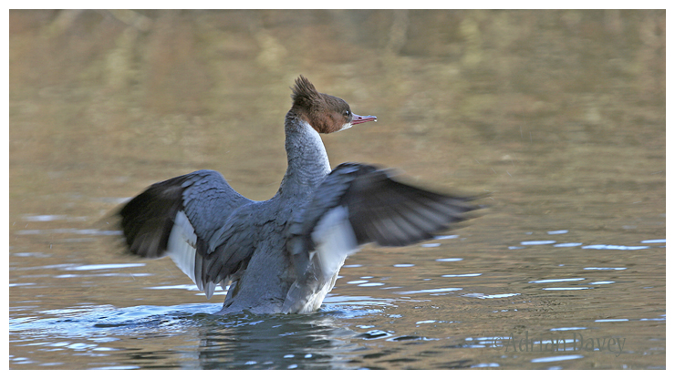 Female Goosander wing stretching