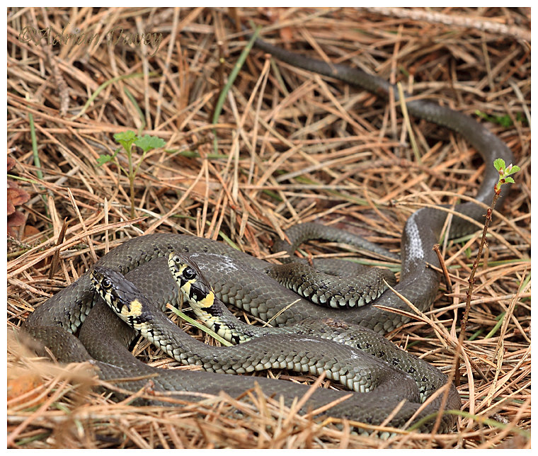 Grass Snakes mating ( I think thats what ther doing)