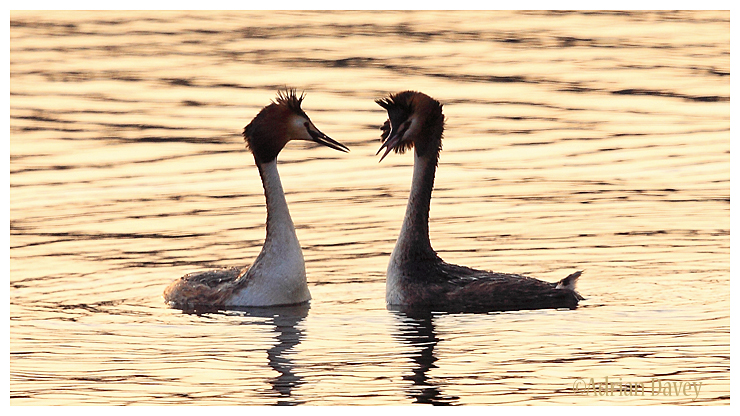 Great Grested Grebes courtship in early evening light