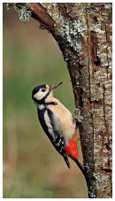 Male Great Spotted Woodpecker.
