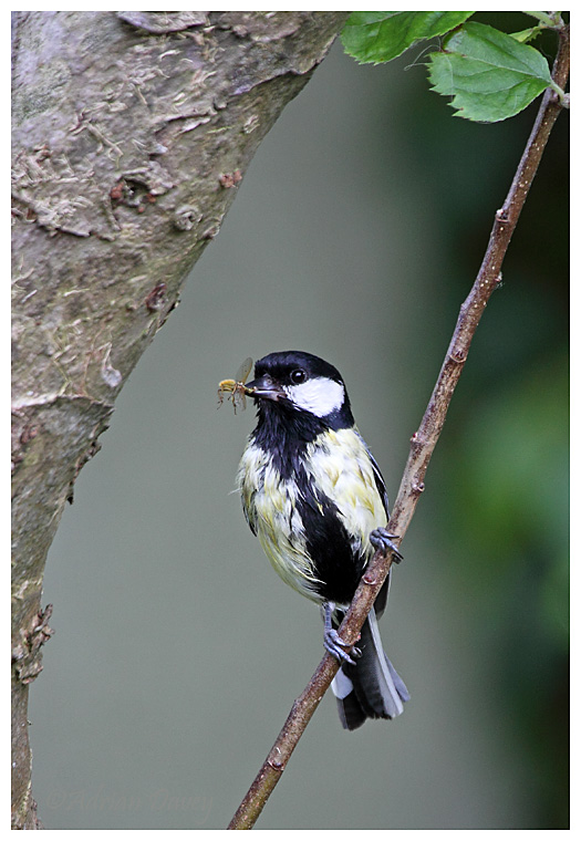 Great Tit with Fly