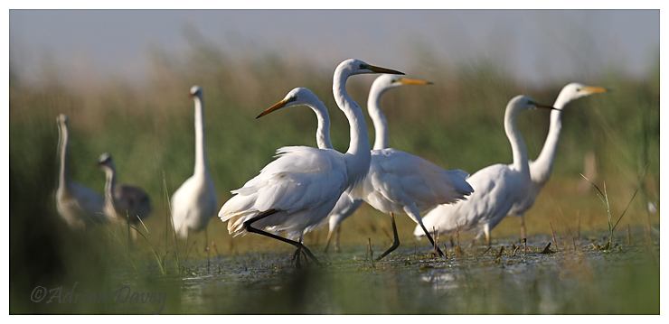 Great White Egrets