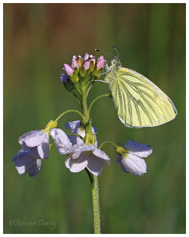 Green Veined White on Cuckoo Flower