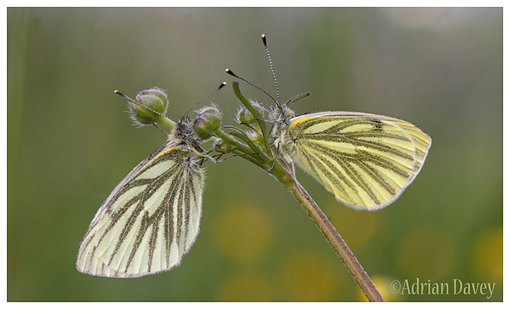 Green Veined White pair on Buttercup.