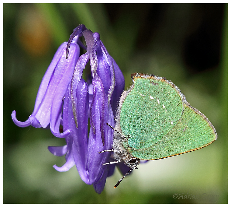 Green hairstreak on Bluebell.
