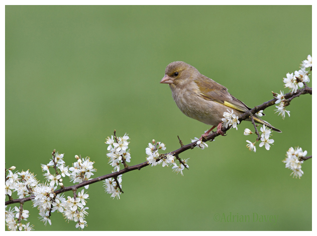 Greenfinch female.