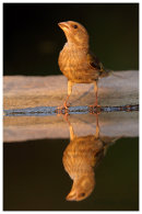 Greenfinch reflection 1