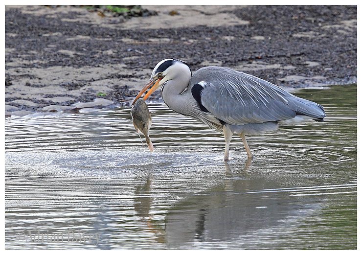 Grey Heron with big fish 1
