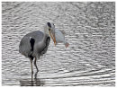 Grey Heron with big fish 3