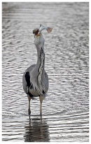Grey Heron with big fish 5