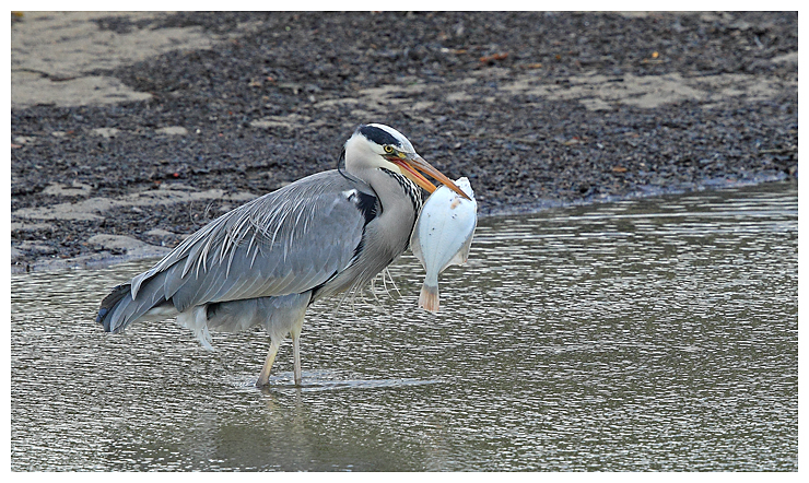 Grey Heron with big fish 2