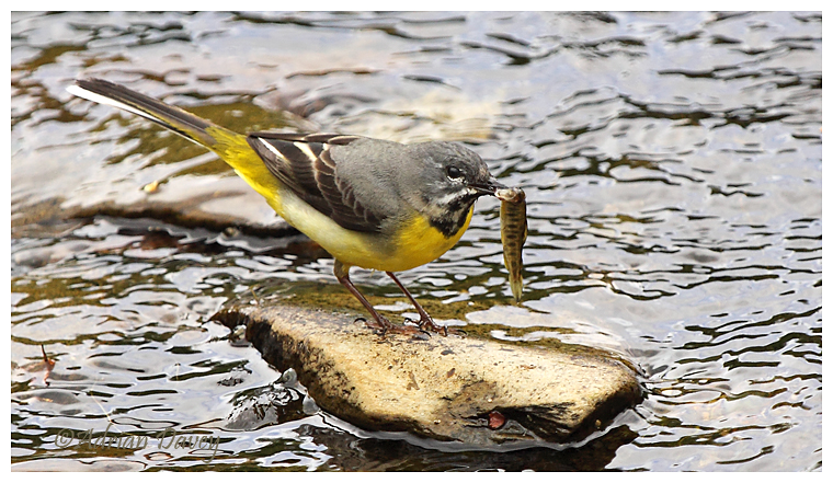 Grey Wagtail with Salmon Smolt