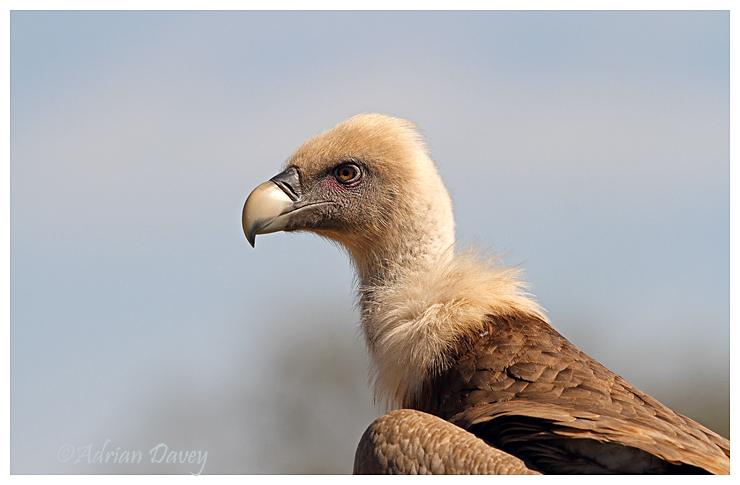 Griffon Vulture portrait 1
