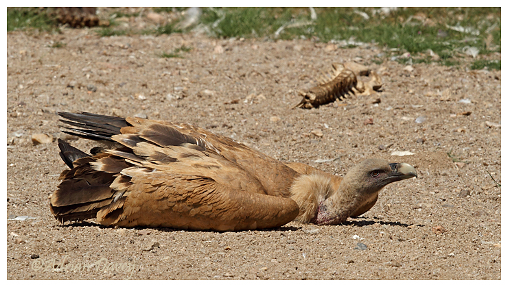 Griffon Vulture having a lie down after eating to much !