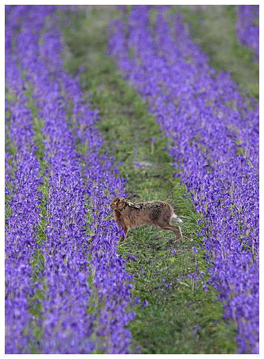 Brown Hare in Bluebell field.
