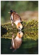 Hawfinch male drinking