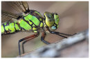 Southern Hawker close up