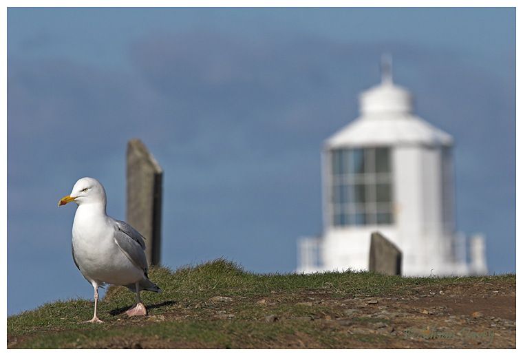 Herring Gull & Lighthouse.