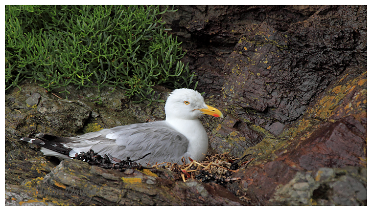 Herring Gull on nest