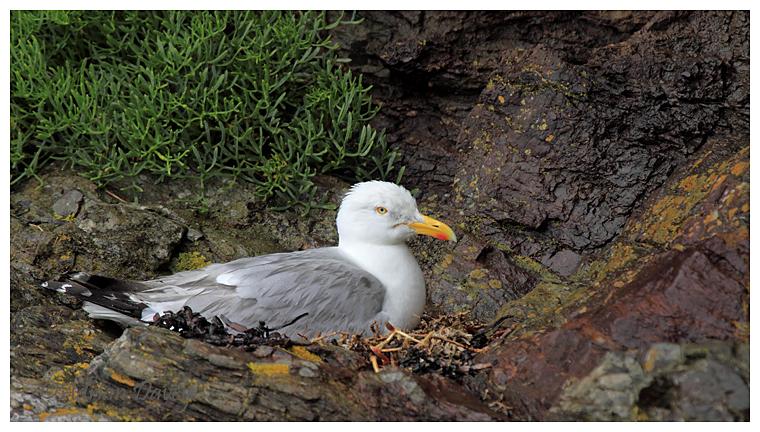 Herring Gull on nest