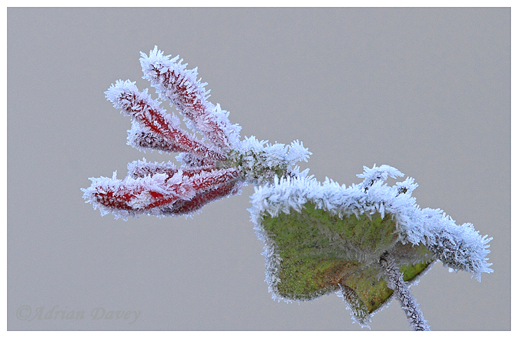 Honeysuckle with frost