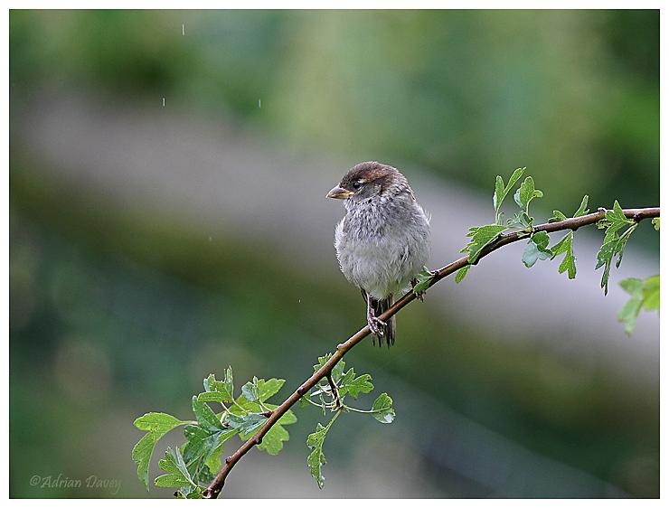 House Sparrow juvenile