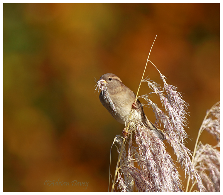 Female House Sparrow on pampas