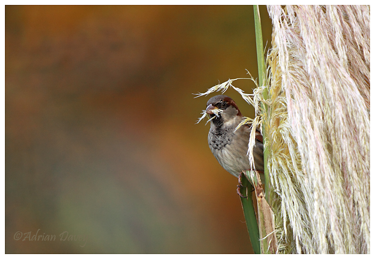 Male House Sparrow on pampas.