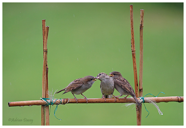 House Sparrow feeding young