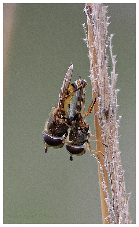 Hoverflies mating