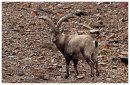 Ibex adult