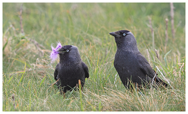 Jackdaws collecting nesting material