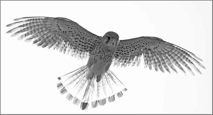 Kestrel in Black & White