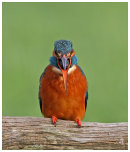 Kingfisher reguritating (I think)