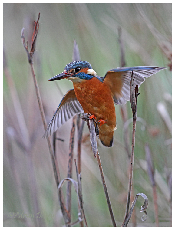 Kingfisher trying to balance on the reeds