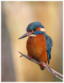 Kingfisher on the lookout.