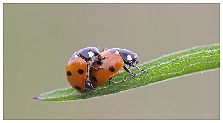 Mating 7 Spot Ladybirds.