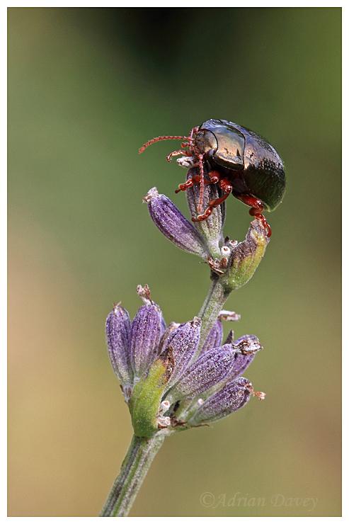Leaf Beetle on Lavender