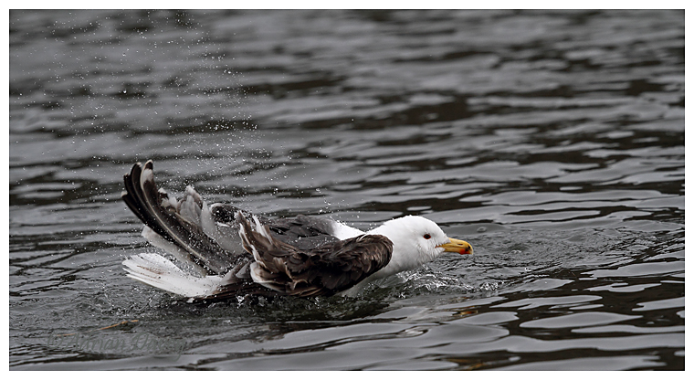 Lesser Black Backed Gull bathing
