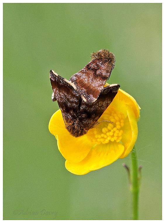 Orange or Yellow Underwing Moths mating