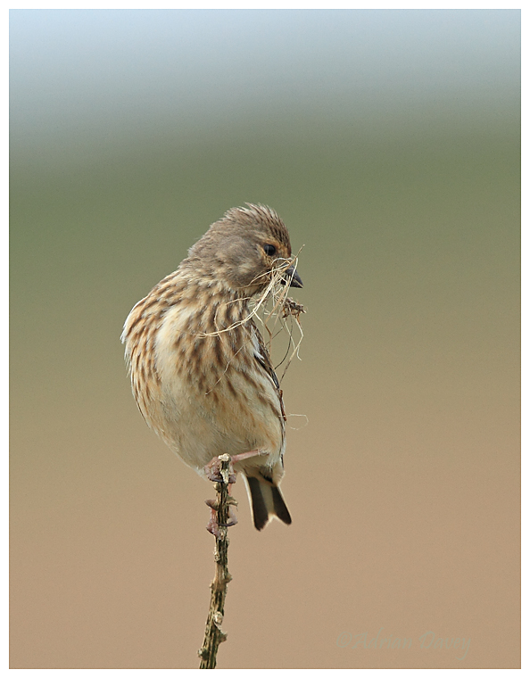 Linnet female with nest material 1