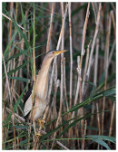 Little Bittern male