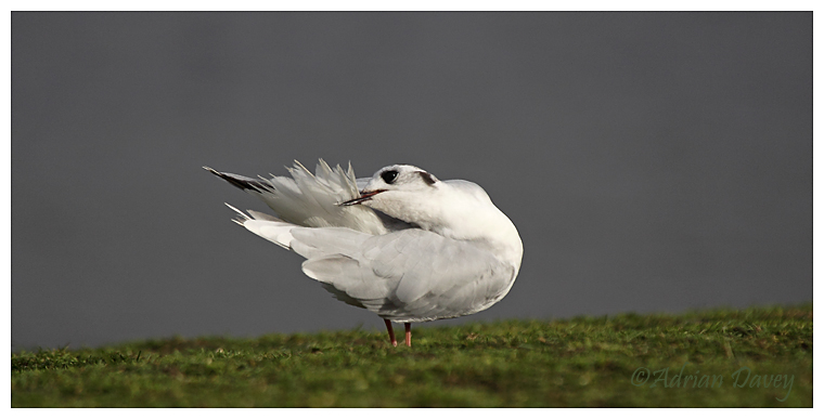 Little Gull preening 3