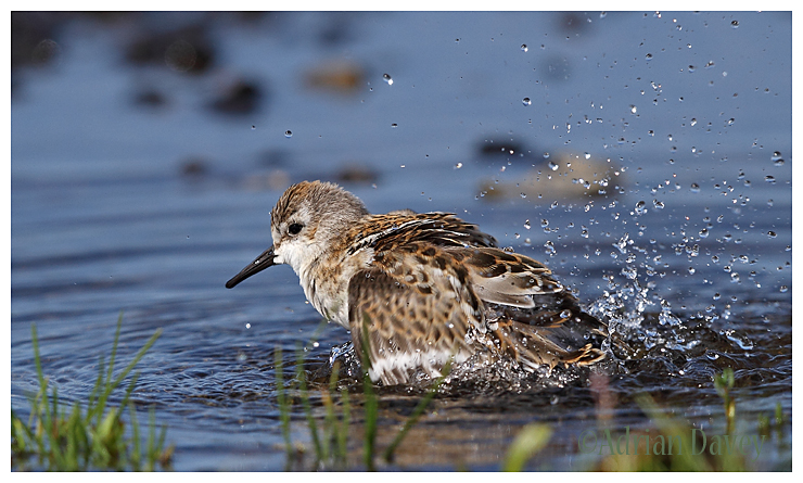 Little Stint bathing