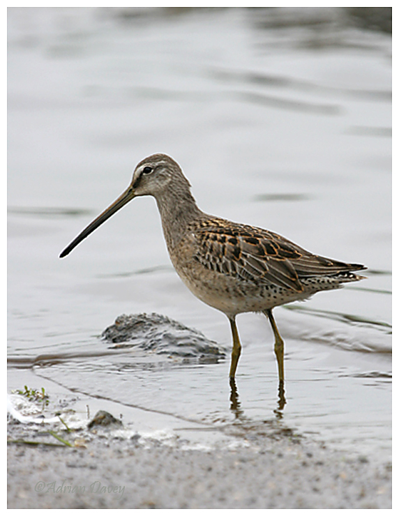 Long Billed Dowitcher (2)