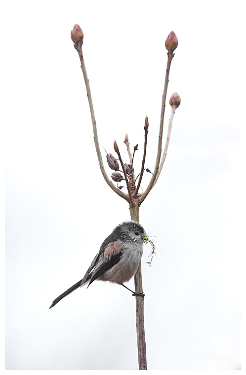 Long Tailed Tit with moss for nest building